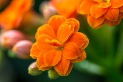 Detail of the young and fresh orange blossom.  Stock Photo