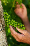 Detail of young grapes Royalty Free Stock Photography