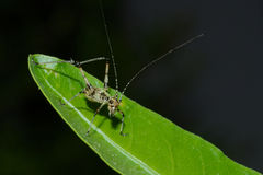 Detail of a young little grasshopper sitting on green leaf Royalty Free Stock Image