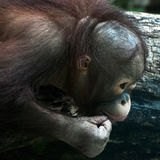 Detail of young orangutan (Pongo pygmaeus) Royalty Free Stock Photography