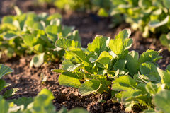 Detail on a Young Radish Plant in a vegetable bed of Garden at S Stock Images