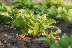 Detail on a Young Radish Plant in a vegetable bed of Garden Stock Images