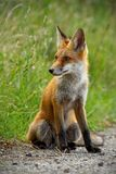Detail of young red fox sitting on gravel roadside in summer. Detail of young red fox, vulpes vulpes, sitting on gravel roadside in summer looking away. Wild royalty free stock photos