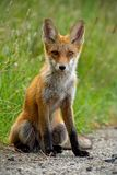 Detail of young red fox sitting on gravel roadside in summer. Detail of young red fox, vulpes vulpes, sitting on gravel roadside in summer. Wild animal on road stock image