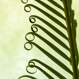 Detail of young spring palm leaves on green background Royalty Free Stock Photography