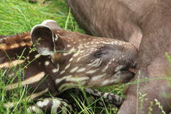 Detail young tapir suckling Stock Photography