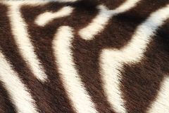Detail of zebra Stock Image