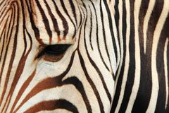 detail of zebra head Royalty Free Stock Image