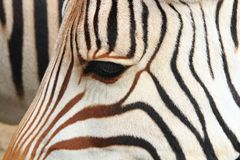 detail of zebra head Royalty Free Stock Photo
