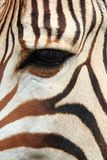 detail of zebra head Stock Photography