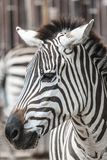 Zebra head. Detail of Zebra head profile Royalty Free Stock Photo