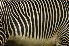 Detail of zebra skin Stock Image
