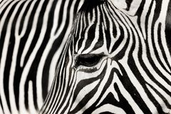 Free Detail Zebra With The Background Of Other Zebra Royalty Free Stock Photos - 131432958