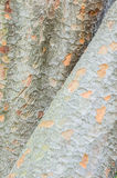 Detail of Zelkova tree trunks Stock Image