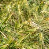 Detailansicht an einem Getreidefeld Lizenzfreie Stockbilder