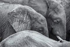 Detailbildschwarzweiss-hintergrund der afrikanischen Elefanten stockfoto