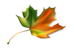 Detailed autumn e maple leaf Royalty Free Stock Photography