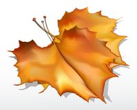 Detailed  autumn maple leaves Royalty Free Stock Photography