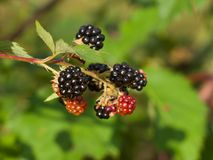Detailed blackberry berries branch riped and unriped on the twig Royalty Free Stock Image