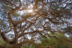 Detailed branches of the Acacia tree royalty free stock photography