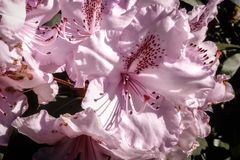 Soft colors and details of Rhododendron flowers stock images