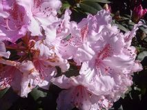 Detailed capture of the form and pink colors of Rhododendron flowers in a garden stock images