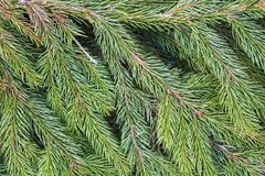 Detailed Christmas tree branches for usage as background.  Stock Image