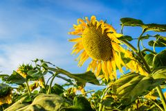 Detailed close in shot of sunflowers in farmers field. Royalty Free Stock Photo