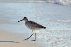 An American short bill dowitcher sandpiper bird walking along seafoam covered sand. royalty free stock photos
