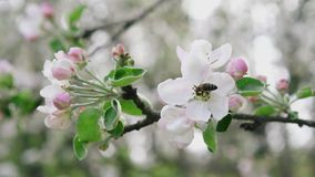 Detailed close-up bee collecting pollen from flower in blossoming apple orchard, slow motion. Close-up bee collecting pollen from flower in blossoming apple stock footage