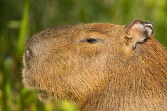 Detailed Close-up of Capybara Head in Profile. Closeup of side view or profile of a mature capybara showing details of ears, eyes, nostril , mouth and pelage Stock Photo