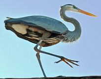 Great blue heron with lifted leg taken from below. stock photography