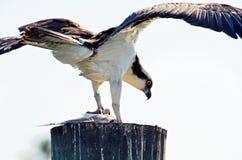 Osprey, or Sea Hawk Gripping Fresh Caught Fish stock photo