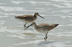 Two American short bill dowitcher sandpiper birds standing in seafoam, the female in focus. royalty free stock images