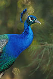 Detailed close up peacock on blurred background Royalty Free Stock Photography