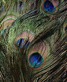 Peacock feathers. Detailed close up of peacock feathers Stock Photos