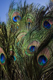Peacock feathers. Detailed close up of peacock feathers Royalty Free Stock Photography