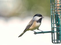 Close Up of Black-capped Chickadee At Feeder. A detailed close up view of a Black-capped Chickadee at a feeder royalty free stock image