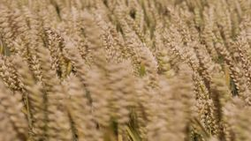 Detailed close up of wheat stock footage
