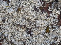 Detailed close up white lichen covering a rough red sandstone rock. A detailed close up white lichen covering a rough red sandstone rock stock photos