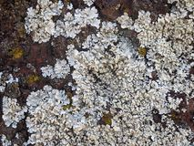 Detailed close up white lichen covering a rough red sandstone rock. A detailed close up of white lichen covering a rough red sandstone rock royalty free stock images