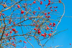 Detailed closeup of branches with blooming roses Royalty Free Stock Images
