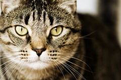 Detailed closeup of brown tabby cat Stock Photography