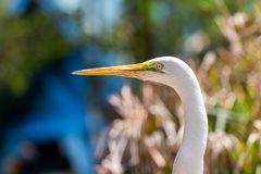Detailed, closeup,  colorful, and bright great egret with green leaves in background in Florida stock photo