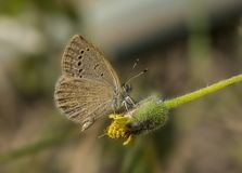 Common Grass blue butterfly Royalty Free Stock Photography