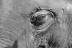 Detailed closeup of the eye of an intelligent old elephant Stock Photo