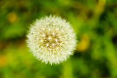 Detailed closeup of fluffy dandelion seed heads Royalty Free Stock Image