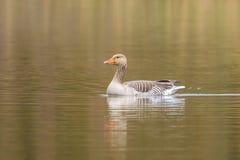 Greylag goose Anser anser swimming Stock Photo