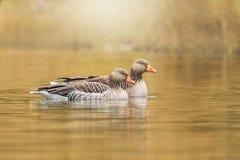 Greylag goose Anser anser swimming Stock Image