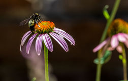 Free Detailed Closeup Of A Beautiful Pink Or Purple Coneflower Stock Photography - 34549932